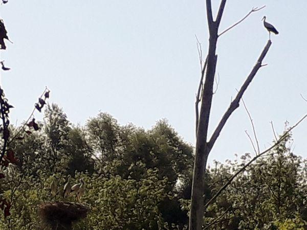 White Stork  - Carles Quer Feo