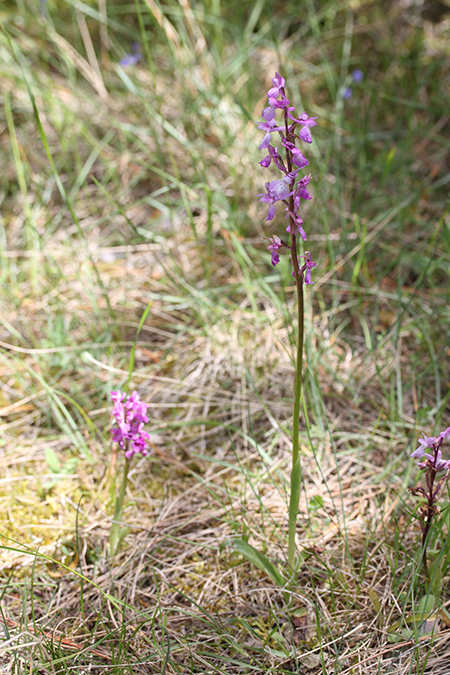 Orchis mascula  - Xavier Alamany