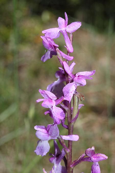 Orchis mascula  - Xavier Alamany