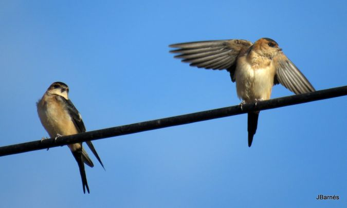 Red-rumped Swallow  - Pau Barnés