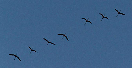 Greater Flamingo  - Anonymous