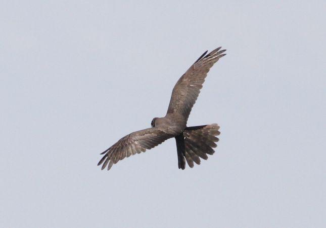 Montagu's Harrier  - Alex Ollé Torner