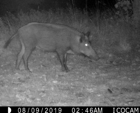 Wild Boar  - Abel Julien