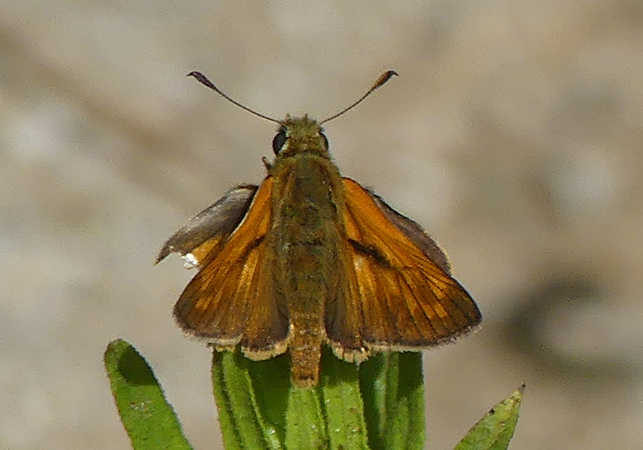 Large Skipper  - Anonymous