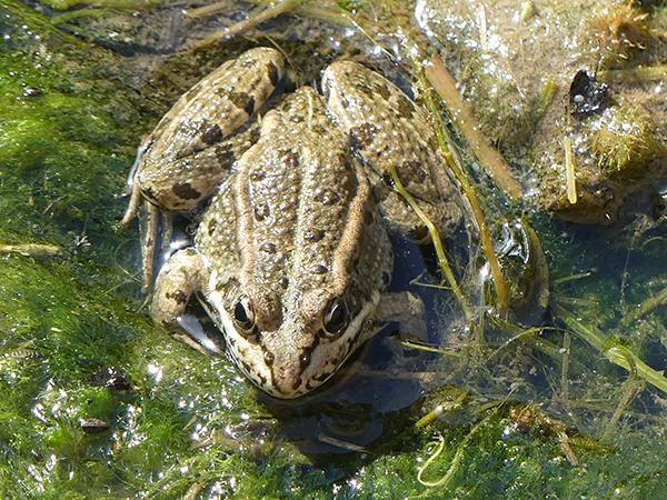 Perez's Frog  - Anonymous