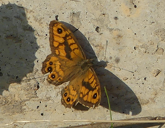 Wall Brown  - Anonymous