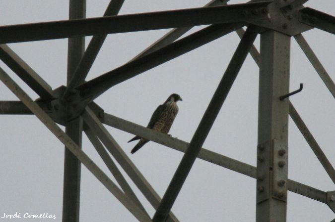 Peregrine Falcon  - Jordi Comellas Novell