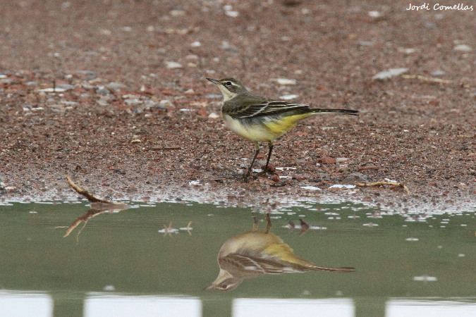 Western Yellow Wagtail  - Jordi Comellas Novell