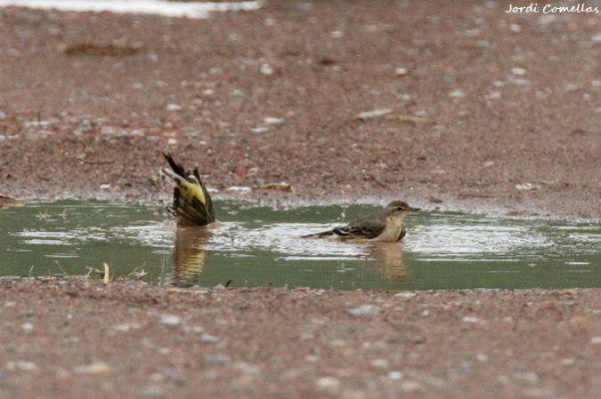 Western Yellow Wagtail  - Jordi Comellas Novell