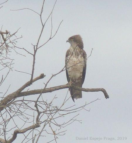 Short-toed Snake Eagle  - Daniel Espejo Fraga