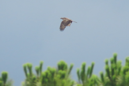 European Honey Buzzard  - Xesco Puigdomenech