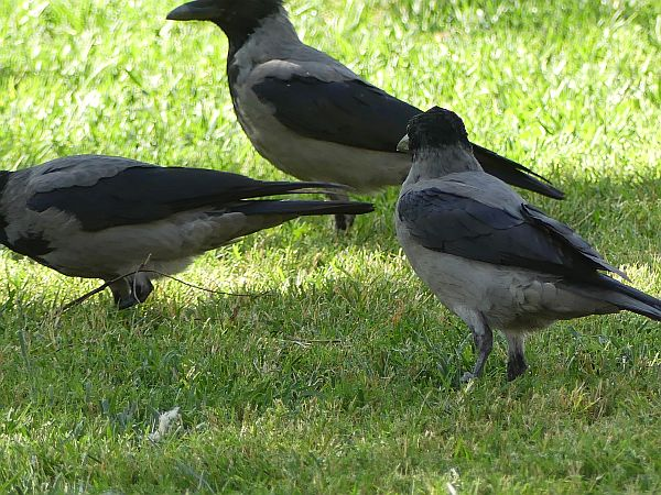 Hooded Crow  - Anonymous