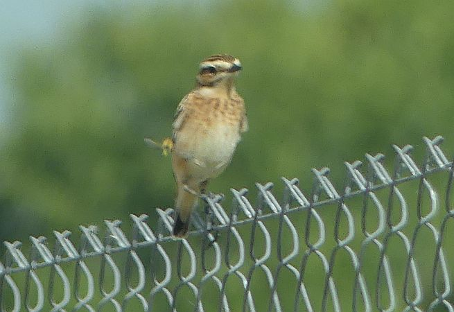 Whinchat  - Anonymous