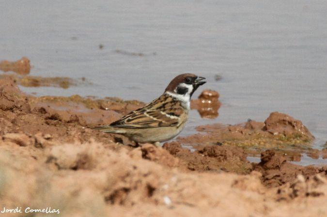 Eurasian Tree Sparrow  - Jordi Comellas Novell