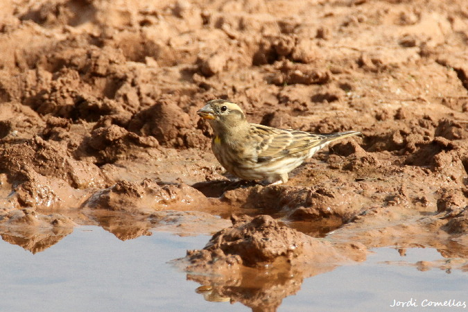 Rock Sparrow  - Jordi Comellas Novell