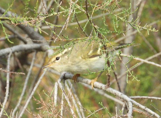 Yellow-browed Warbler  - Ruiz Ramon