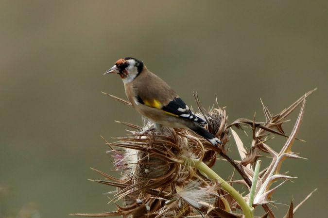 European Goldfinch  - Feli Guardado