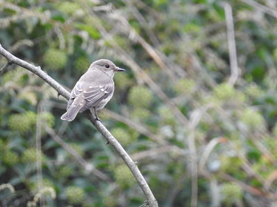 Spotted Flycatcher  - Núria Barbany