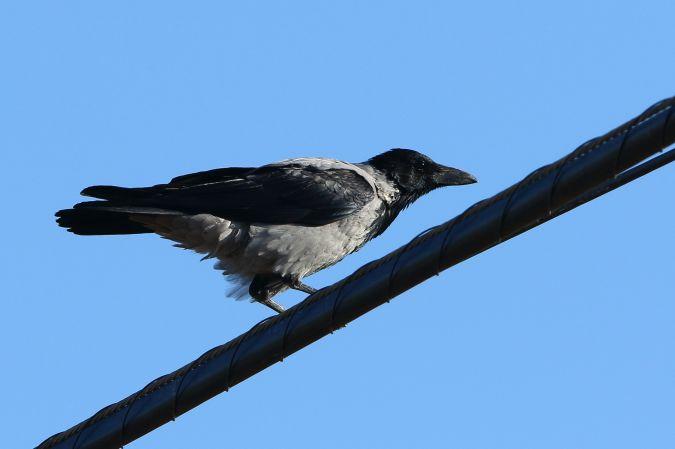 Hooded Crow  - Joan Goy