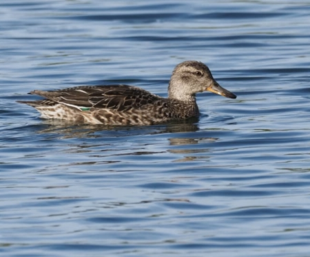 Eurasian Teal  - Anonymous