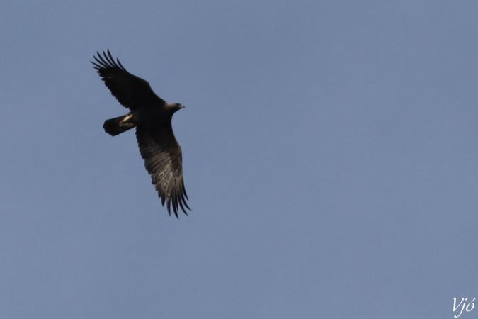 Golden Eagle  - Lluís Vilamajó