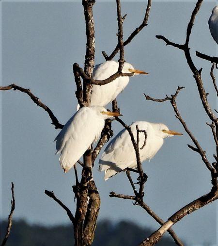 Western Cattle Egret  - Joan Safont