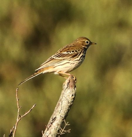 Meadow Pipit  - Joan Safont
