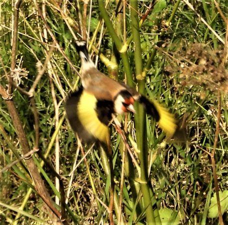 European Goldfinch  - Joan Safont