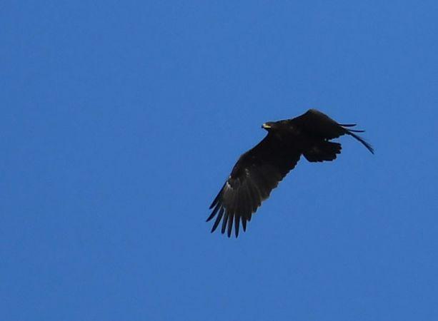 Greater Spotted Eagle  - Ricard Gutiérrez