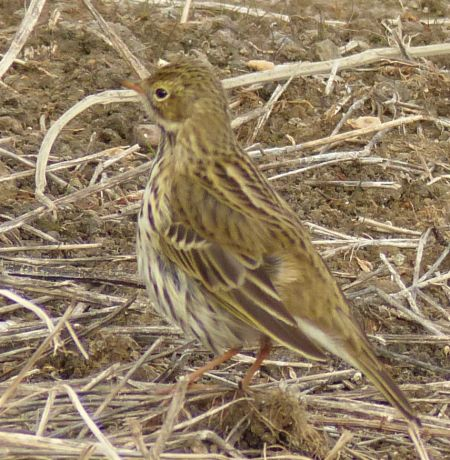 Meadow Pipit  - Carina Domenech