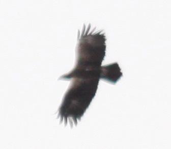 Lesser Spotted Eagle  - Vittorio Pedrocchi
