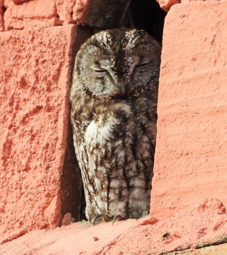 Tawny Owl  - Eulàlia Maspons