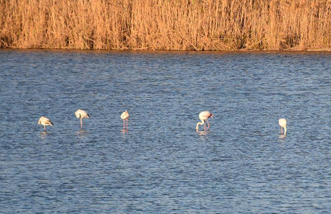 Greater Flamingo  - Pau Esteban