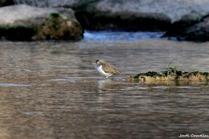 Common Sandpiper  - Jordi Comellas Novell