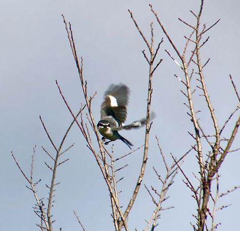 Southern Grey Shrike  - Ramon Prat Espelt