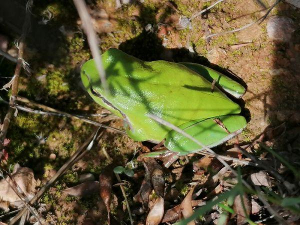 Mediterranean Tree Frog  - Josep Escolà