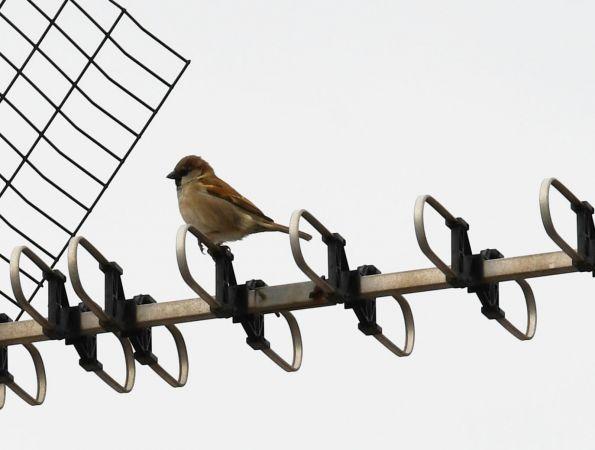 House Sparrow  - Ricard Gutiérrez