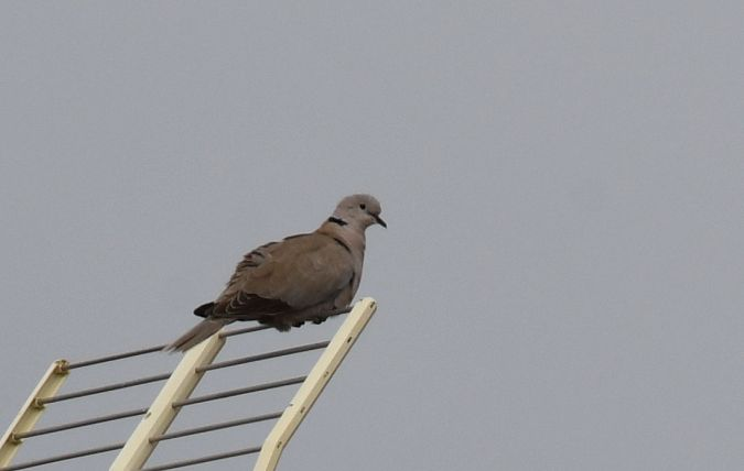 Eurasian Collared Dove  - Ricard Gutiérrez
