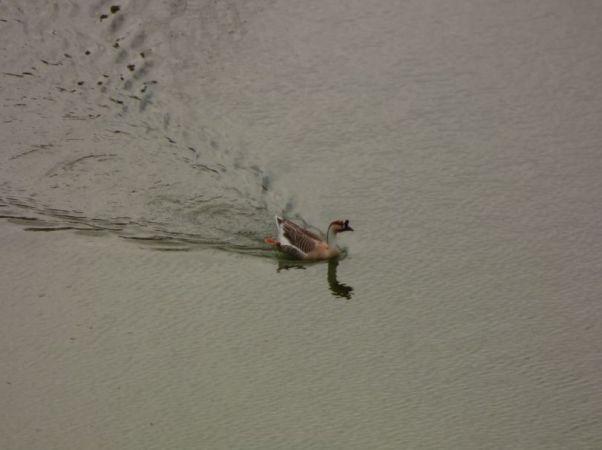 Swan Goose  - Adrián Pina Hidalgo