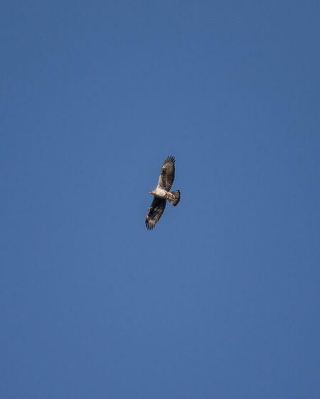 Bonelli's Eagle  - Arnau Costa Vilanova