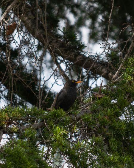 Common Blackbird  - Arnau Costa Vilanova