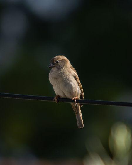 House Sparrow  - Arnau Costa Vilanova