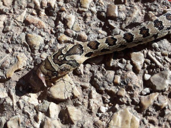 Horseshoe whip snake  - Anonymous