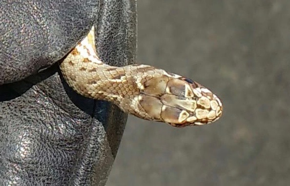 Western Montpellier Snake  - Anonymous