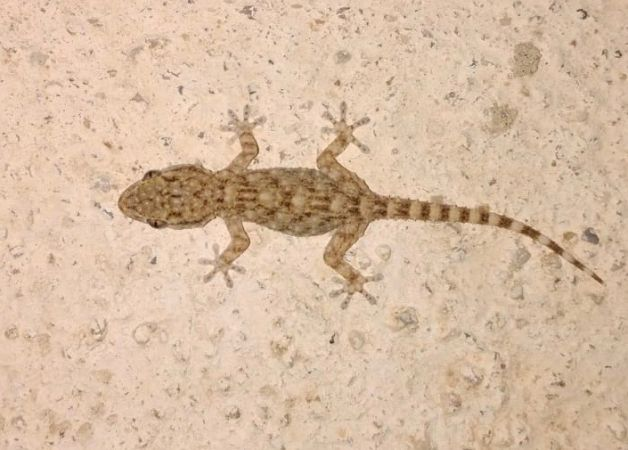 Common wall gecko  - Anonymous