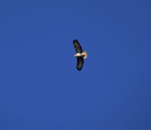 Common Buzzard  - Montserrat Pla
