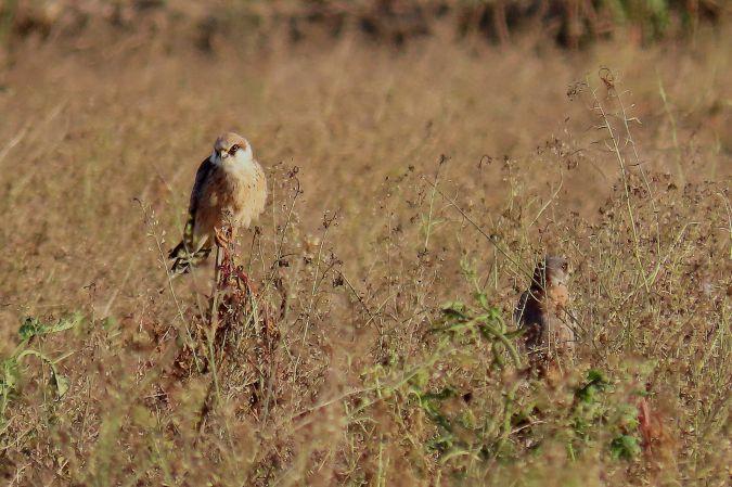 Red-footed Falcon  - Manolo García