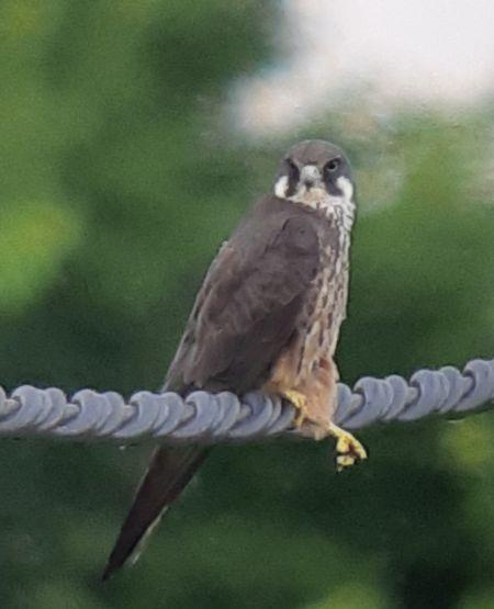Eleonora's Falcon  - Josep Crusafont