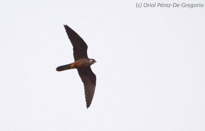 Eleonora's Falcon  - Miquel Àngel Pérez-de-Gregorio Capella
