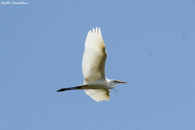 Great Egret  - Jordi Comellas Novell